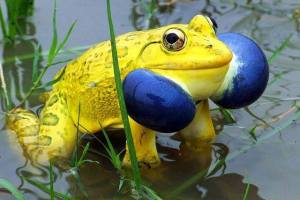 east indian bull frog